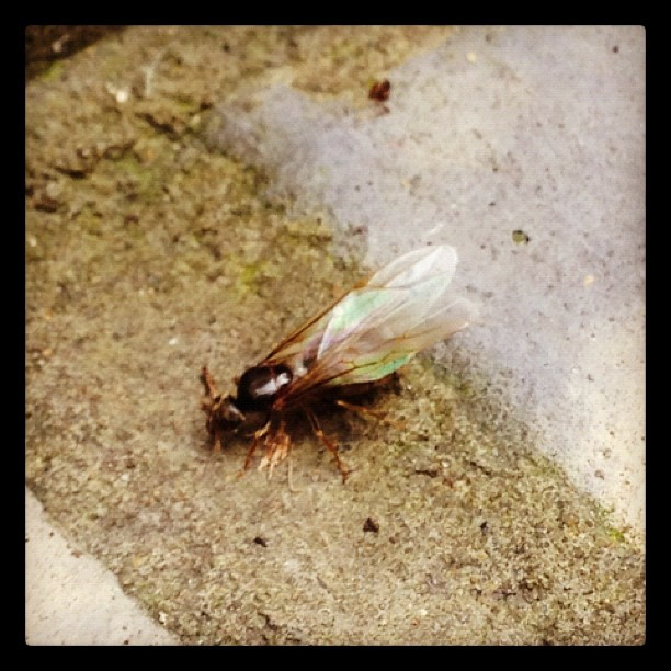 @artwork_yes_its_art proper flying ant weather today in hackney.. #ant #jeah #hackney #london #e5  (Taken with Instagram at Hackney Manor, E5.)