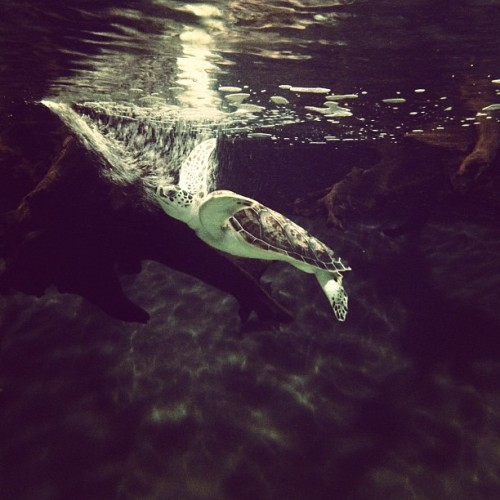 There's more to discover. skysoar: Chelonia Mydas (Taken with Instagram at North Carolina Aquarium)