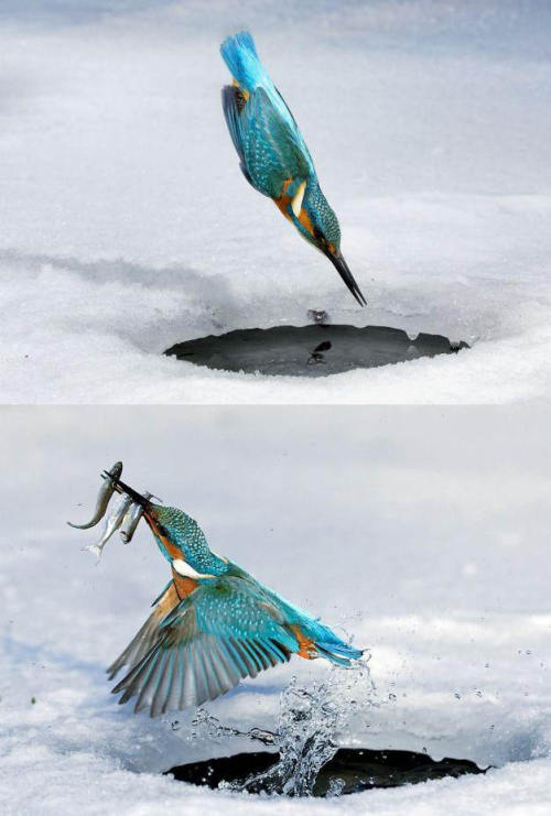 opticoverload:  Triple Kill :: The Kingfisher makes a perfect dive at 100 km/hr into the little frozen hole in Germany to catch fish for food. This Amazing moment captured by photographer Gisela Delpho   HOLY SHIT!  You know, I could've been over that hole with a net and a hook and I still would've only gotten one. Maybe.