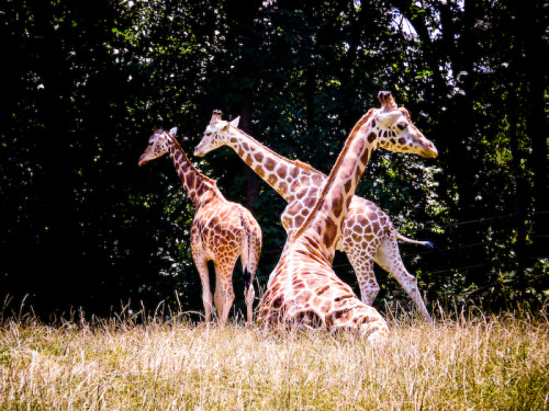 Bronx Zoo Giraffes; Original photo ©Britt Sorensen