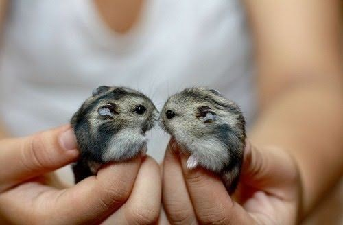 We happened to come across this picture of two hamsters kissing! Just too adorable to not repost! Original Article