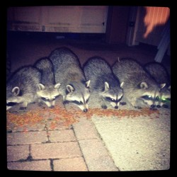 #raccoons #newyork #longisland  (Taken with Instagram)