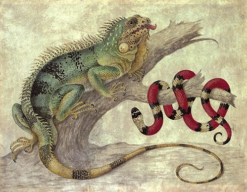 stilllifequickheart:  Maria Sibylla Merian Iguana and Coral Snake  Late 17th - early 18th century