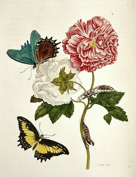 stilllifequickheart:   Maria Sibylla Merian From Transformations of the Insects of Surinam 1705