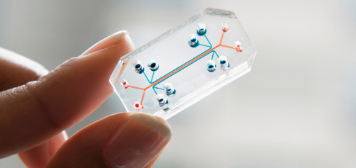futureveterinarian:  Lung-on-a-Chip Body category An accurate replica of a natural lung Pharmaceutical companies are failing to bring new drugs to patients because they rely on the use of expensive, time-consuming and controversial animal testing to validate their compounds that often fail to predict results obtained in human clinical trials. Scientists have worked for years to create alternatives to animal testing, but with little success. At the same time, the use of nanoparticles in consumer products and production of environmental pollutants have skyrocketed, yet the risks that these manmade microscopic compounds pose to human health have been difficult to measure due to limitations in current testing models. The Lung-on-a-Chip offers an entirely new approach to deal with both of these major health threats to our society.   The Lung-on-a-Chip is crystal clear, flexible and the size of a computer memory stick and it mimics the structure and breathing functions of the living human lung. The Chip has three parallel hollow channels, the central of which is split in half by a horizontal, permeable membrane. The membrane's top surface is lined with living cells from the air sac of the human lung, over which air flows. Its bottom surface is lined with human capillary blood vessel cells under which flows a liquid medium containing white blood cells. To mimic breathing movements, repeated suction is applied to adjacent side channels which stretch and relax the flexible membrane and cells. This simple micro device recapitulates human lung responses to infection, inflammation and environment toxins, offering a potential replacement to animal testing for drug development and environmental monitoring.