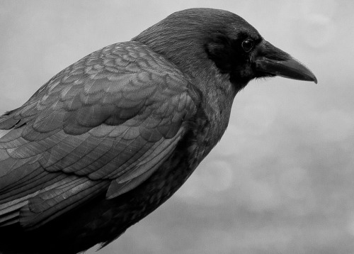 spidercamp:  Crow in Black and White (by smpritchard)