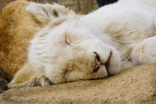 worldlyanimals:  Sleepy Lion Cub (Zeepster)