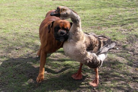 hollovv:  THIS IS A SEEING EYE GOOSE THAT LEADS AROUND A BLIND DOG TELL ME WHY I LOVE ANIMALS GO AHEAD DO IT THE F*CKING GOOSE'S NAME IS BUTTONS COME THE F*CK ON  AAAAHHHH!