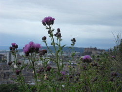 Edinburgh Castle viewed from the Salisbury Crags. With thistles. Because This Is Scotland.