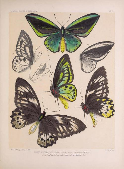 Icones ornithopterorum : a monograph of the Papilionine tribe Troides of Hubner, or Ornithoptera [bird-wing butterflies] of Boisduval By Robert H. F. Rippon