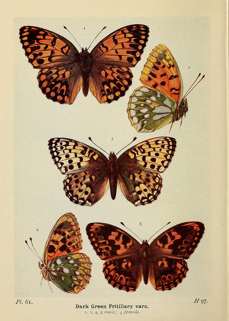 fey-bear:  'The butterflies of the British Isles.' 1906