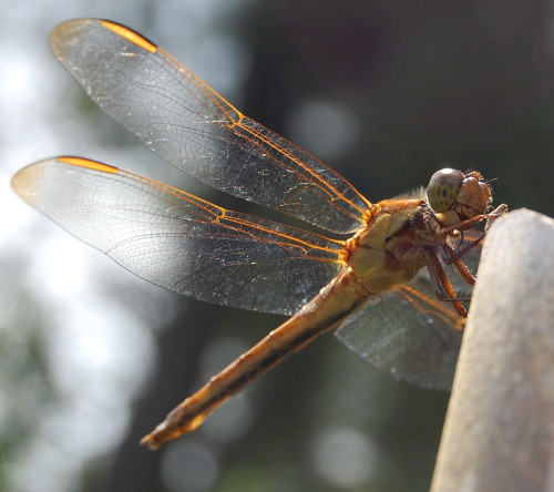 fatchance:  Yellow-sided skimmer dragonfly (Libellula flavida). This chap has been keeping sentinel duty all day on the same tomato stake. In my garden in Portsmouth, Virginia. Please click photo for full view.