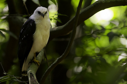 fairy-wren:  white-necked hawk (photo by jquental)