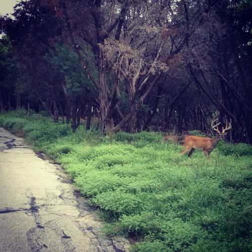 Here's how close the 8 pointer buck was to the road on the last #RaphaRising climb #velvet - Best part was seeing him on the return descent - it was like he was waiting for me & as I passed him our eyes met & then he casually started walking off #AintNoBigDeal… ~ Deer we're my constant companion climbing in #WLH on the #Rapha Rising - some morning's I saw two dozen Bambi's & moms on climbs ~ I even saw one impaled live on a high fence moments before it was put down…that wasn't fun…but this guy…#perfection ~ #nature #bikeatx #cycling #grimpeur  (Taken with Instagram)
