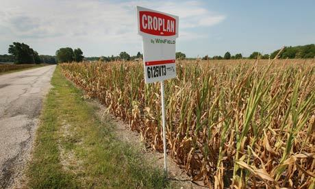 "America's #corn farmers high and dry as hope withers with their harvestBrutal mix of triple-digit temperatures and lack of rain forces farmers in the corn belt to consider abandoning entire crop""The worst #drought in a generation is hitting farmers across America's corn belt far harder than government projections and forcing them to a heart-breaking decision: harvest what's left of their shrivelled acres or abandon their entire crop.For Mike Buis, who farms in west-central Indiana, the most he could hope for, his best-case scenario, was saving one-third of his crop.'I'd be tickled to death if it would make 50 bushels (1.5 tonnes), if we don't have rain,' he said. Most of his crop was a write-off, and Buis was already looking ahead to next year.'Some stuff technically is not going to be worth the combine bill to harvest it,' he said. 'This is my 49th crop, and I have never had a year like this.'""http://www.guardian.co.uk/environment/2012/jul/22/americas-corn-farmers-dry-harvest"