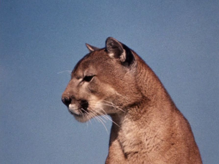 Charlie The Lonesome Cougar, 1967