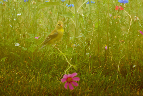a flycatcher tries the same game in my garden.  The GoldFinch and the Flycatcher spent quite a bit of time screeching at one another but they seemed to be able to coexist in close quarters.