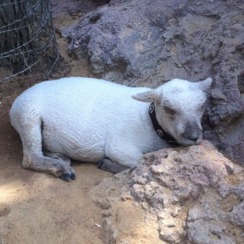 DL is testing having sheep again. This guy isn't stoked. / on Instagram http://instagr.am/p/NZgxPWlAzt/