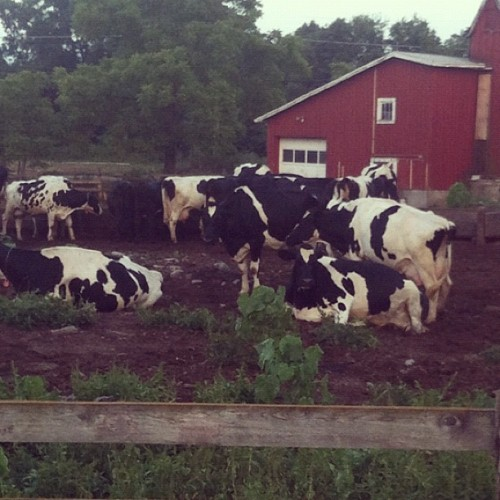 COWS! 🐮🐮🐮🐮 (Taken with Instagram)