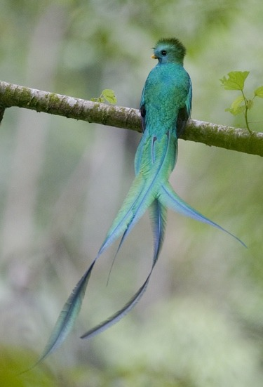 uncensoredconscience:  fairy-wren:  resplendent quetzal (photo by cloud forest conservation)  This is so pretty. I want to eat you. :'(