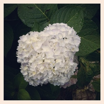 Hydrangea  (Taken with Instagram)