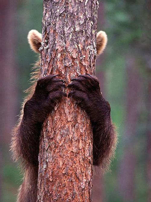 Brown Bear Cub Hiding Behind the Tree. At Suomussalmi, Finland, photo by Jari Petromaki
