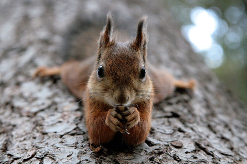 coffeenuts:  Squirrel by siilikala on Flickr.