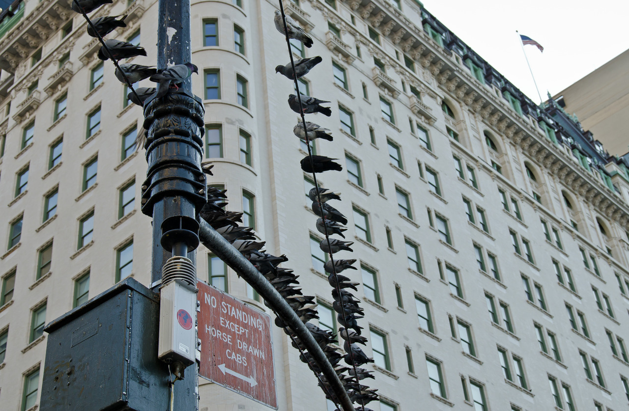 Pigeons place….at The Plaza Hotel, New York.