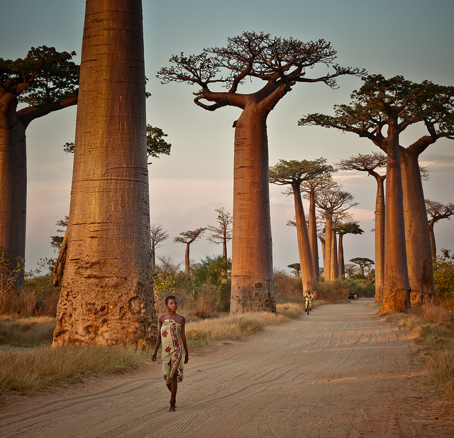 visitheworld:  Avenue of the Baobabs, Madagascar (by syngnz).