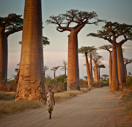visitheworld:  Avenue of the Baobabs, Madagascar (by syngnz).  Beautiful.