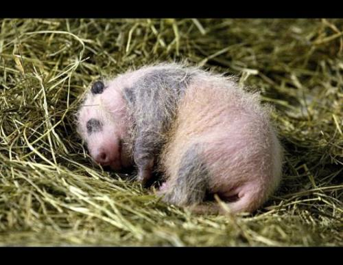 A Giant Panda Bear cub born at the Atlanta Zoo in Atlanta, Georgia.  Photo by Zoo Atlanta.