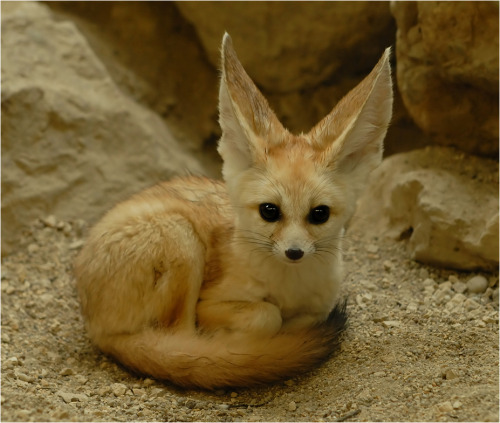 the-absolute-best-photography:  llbwwb:Curled up Fennic Fox by ~x-crossroad Submit your Animal shots and Cute Pets today:) You have to follow this blog, it's really awesome!