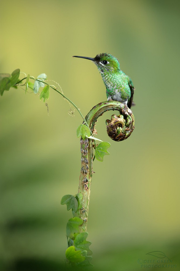 fairy-wren:  green-crowned brilliant (photo by deep green photography)