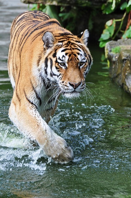 tigersandcompany:  Amur tiger (by Truus & Zoo)