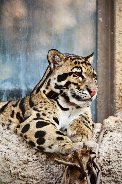 Clouded leopard (by Elliot Norwood)