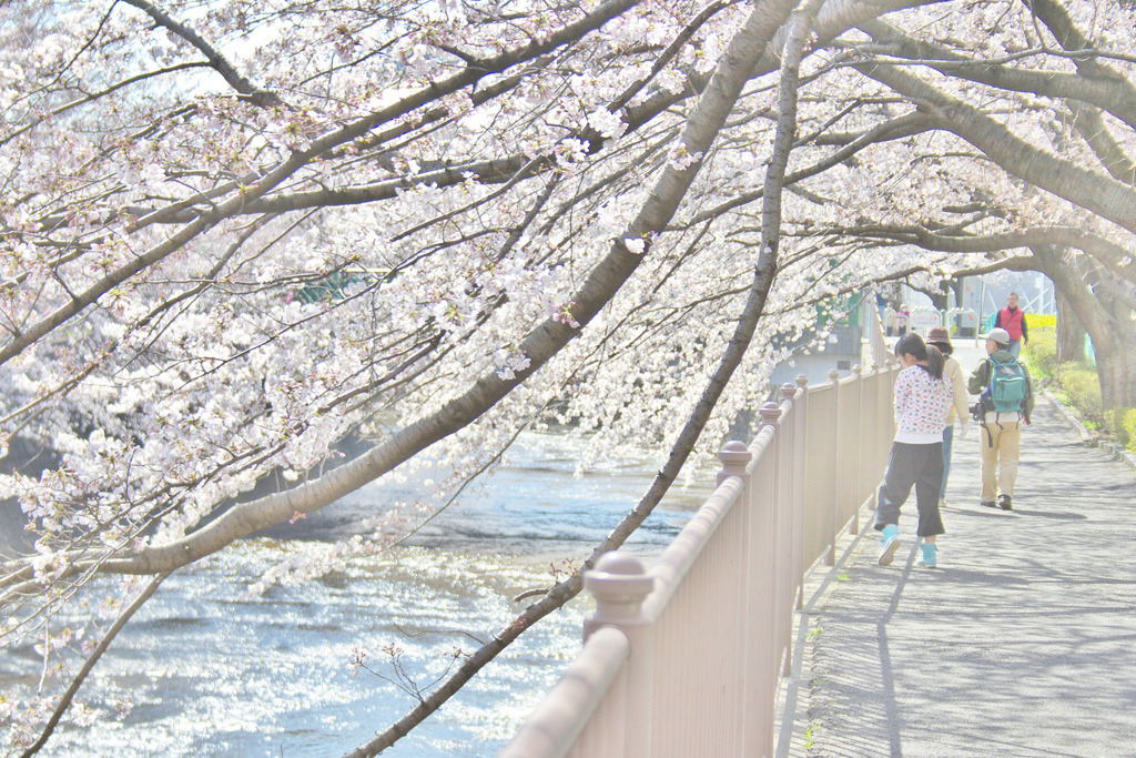 Onda-river in the cherry blossom season (by chihilo)