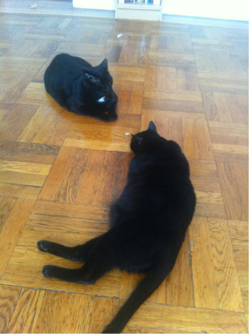 BLACK CAT FACEOFF.   Spanky's a little too relaxed for an event of this magnitude.