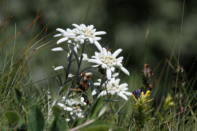 Edelweiss en pagaille on Flickr.