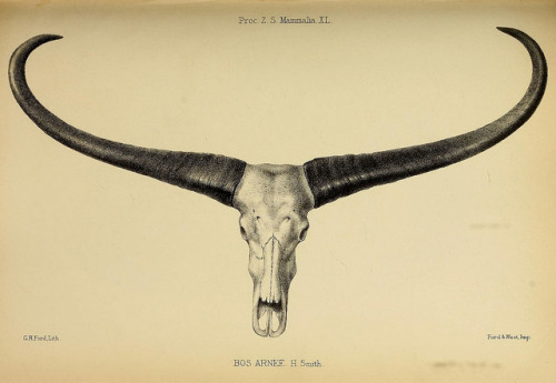 Bos arnee now called Bubalus arnee the wild water buffalo  by BioDivLibrary on Flickr. Proceedings of the Zoological Society of London..London :Academic Press, [etc.],1833-1965..biodiversitylibrary.org/page/37027987