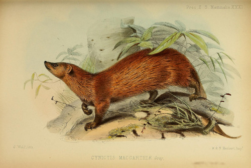 Cynictis Maccarthiae now called Herpestes fuscus maccarthiae - the Northern Ceylon Brown Mongoose a subspecies of the Indian brown mongoose by BioDivLibrary on Flickr. Proceedings of the Zoological Society of London..London :Academic Press, [etc.],1833-1965..biodiversitylibrary.org/page/37027969