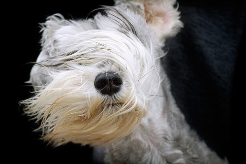 Schnauzer weather by Piotr Organa on Flickr.