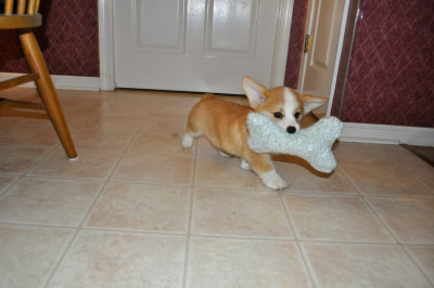 corgiaddict:  Effie parading around, showing off her new squishy.  It instantly shot to #1 on her favorite toys list.  Four days later, and that pastel blue fabric is now black.  From puppy saliva. Follow Effie here:  http://corgidiaries.tumblr.com/