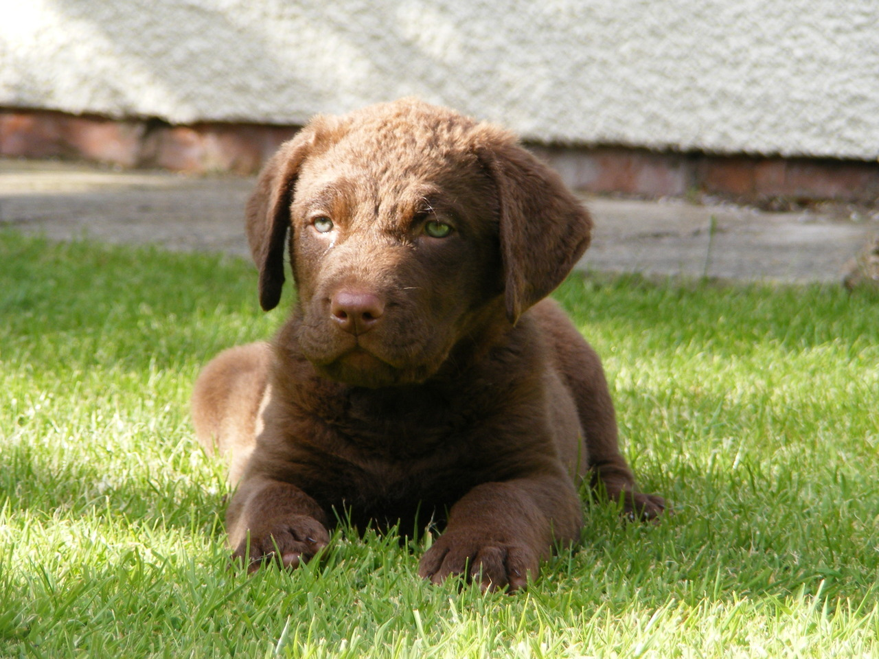 Maisey Pink ….. the newest addition to our family. A 7 week old Chesapeake Bay Retriever. Actually she's my Mum's new puppy but we might have to borrow her once in a while as she is sooooo cute : )