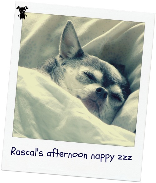 My chihuahua, Rascal, today a lunch. He was not like this when I left - so it cracks me up that he decided to sleep on my husbands side of the bed, on his pillow!