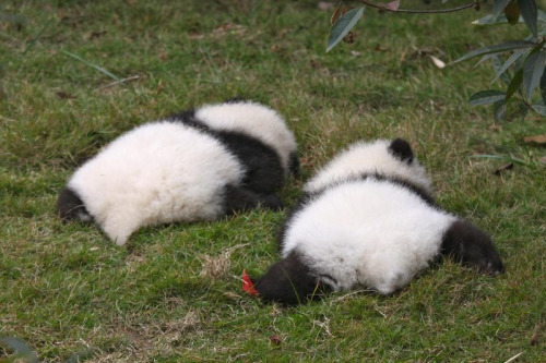 mijnblog:  © Jeroen Jacobs.  Fluffy baby panda butts.  So cute.