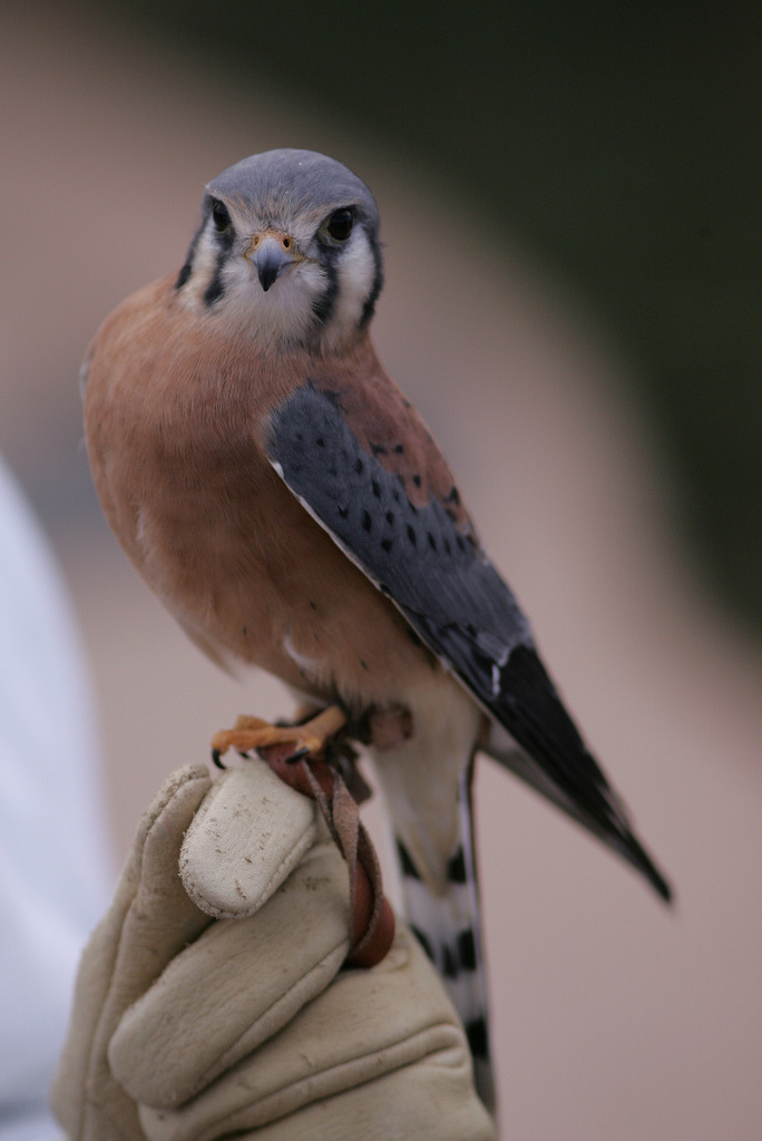arizonanature:  Falcon