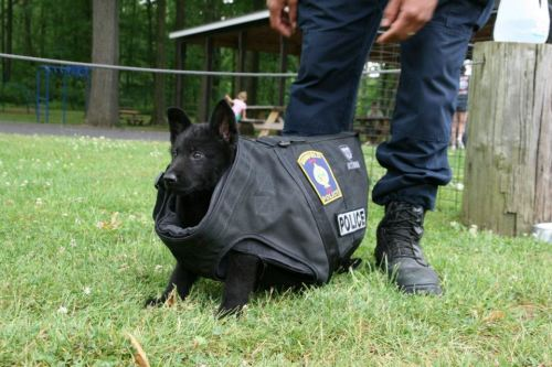 policecars:  Brimfield PD (Ohio) - This is the new puppy at training today….we don't think the bullet proof vest fits….just yet