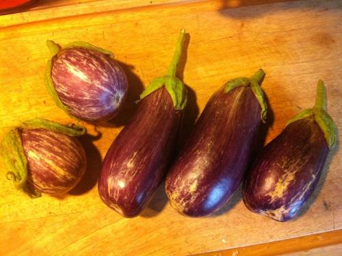 First eggplant harvest from two plants.  I pushed my luck by leaving some of them on the plant so long after being out of town.  Lucky for me it rained at home the whole time I was gone. Listada de Gandia on left (larger one is about baseball size), Pandora on right (about Coke can length but a little narrower).  Just chopped some of them into little bits with skin left on, now roasting them to go in a pasta sauce with yellow bell pepper and homegrown tomatoes, oregano, and basil.