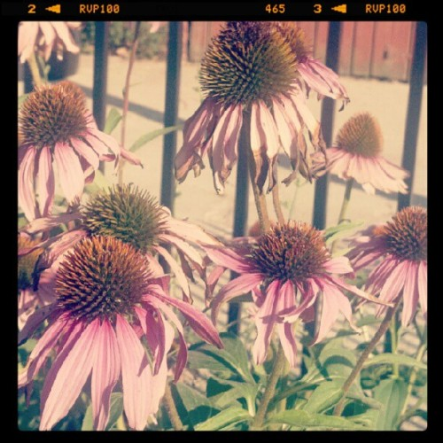 #coneflowers #community #garden #Detroit  (Taken with Instagram)