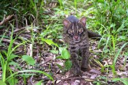 The Iriomote cat (Prionailurus iriomotensis) is a feline relatively similar in size to the typical domestic house cat, except it has cute short legs and a thick, bushy tail. Oh, and unlike the domestic house cat, they're also one of the worlds most critically endangered and rarest species.. Or subspecies, since it's argued whether they're a subspecies of the leopard cat.. They potentially separated genetically around 200,000 years ago. Endemic to the Iriomotejima Island in Japan, they prefer to live in more coastal areas opposed to mountainous areas. Their meals consist of a variety of wildlife like rats, bats.. Yes I know, I'm a poet.. birds, reptiles, and insects. Fish and crabs are also finding their way into the Iriomote cat's stomach, since they're impeccable swimmers and top notch predators.  Breeding is common during February-March but can occur throughout the year. With a gestation period of up to 70 days, an extreme variation from 1 to 8 kittens has been recorded per liter. Their youngin' mature in as little as 8 months, and spend the remaining 10 years of their life on their own.  ..If there's any youngins in the first place, since less than 100 of these felines roam Japan today. Hybrids with feral cats, small range, and increasing human population has all lead up to this incredibly low population. With no captive cats, Japan has had to make them a fully protected species, otherwise we'd find them extinct quite soon. Funds like the Japan Tiger and Elephant Fund are attempting to spread awareness and conserve this species in order to ensure their survival.